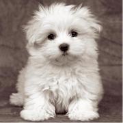 Cucciolo di Maltese 500 pezzi