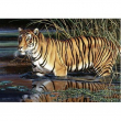Puzzle Tigre 1000 pezzi