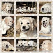 Puzzle cuccioli di cane 1000 pezzi