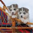 Cuccioli di Husky 500 pezzi