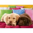 Cuccioli di Labrador 1000 pezzi