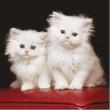 Gatti persiani bianchi 500 pezzi