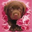 Cucciolo di Labrador 500 pezzi