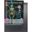 Modellino scheletro