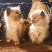 Gatti Persiani Himalayani 500 pezzi